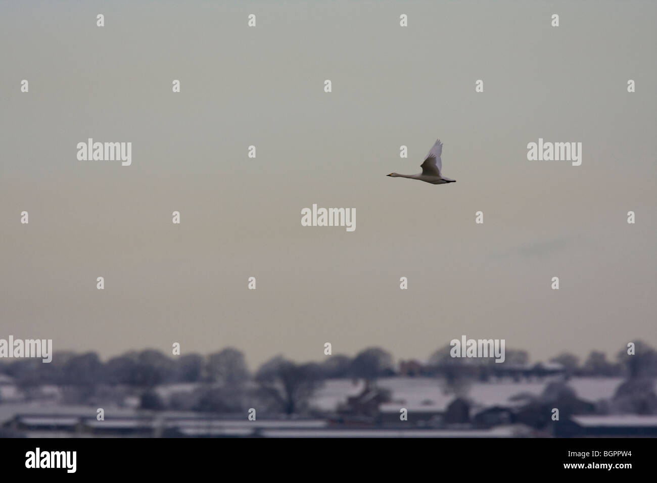 Single Bewick's Swan Cygnus columbianus flying against frosty snow covered agricultural fields, Gloucestershire, Stock Photo