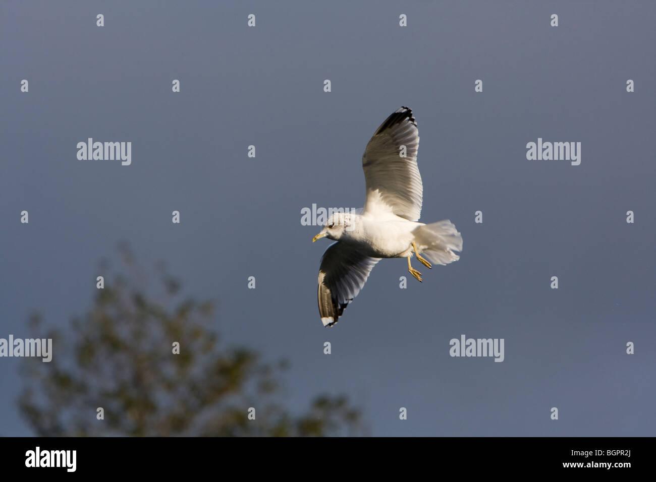 Common Gull Larus canus flying against stormy sky, Kensington Gardens, London - Stock Image