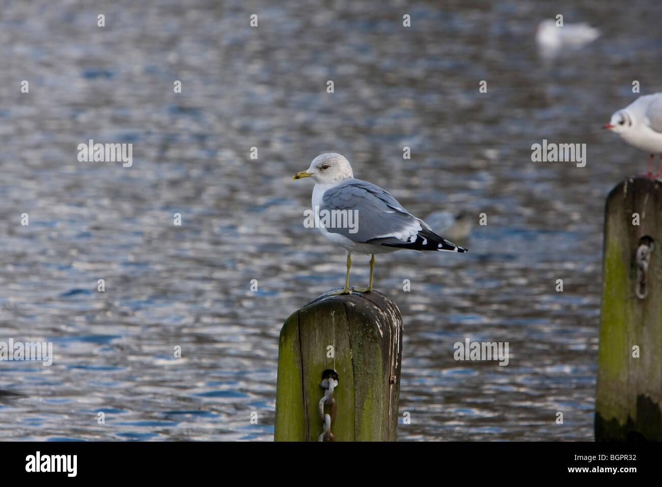 Common Gull Larus canus standing on wooden post, Kensington Gardens, London - Stock Image