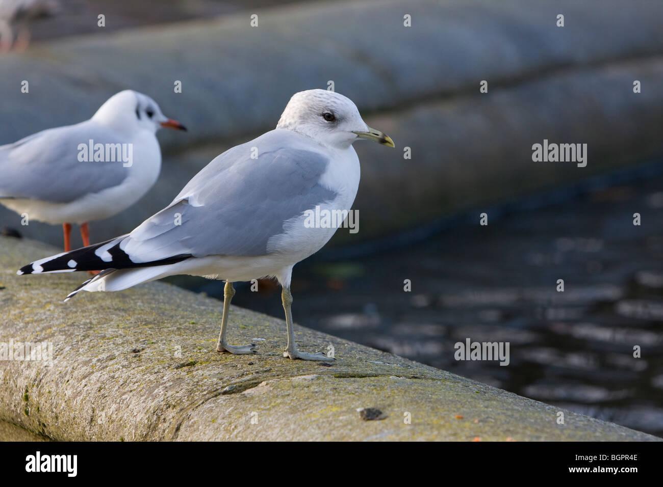 Common Gull Larus canus, Kensington Gardens, London - Stock Image