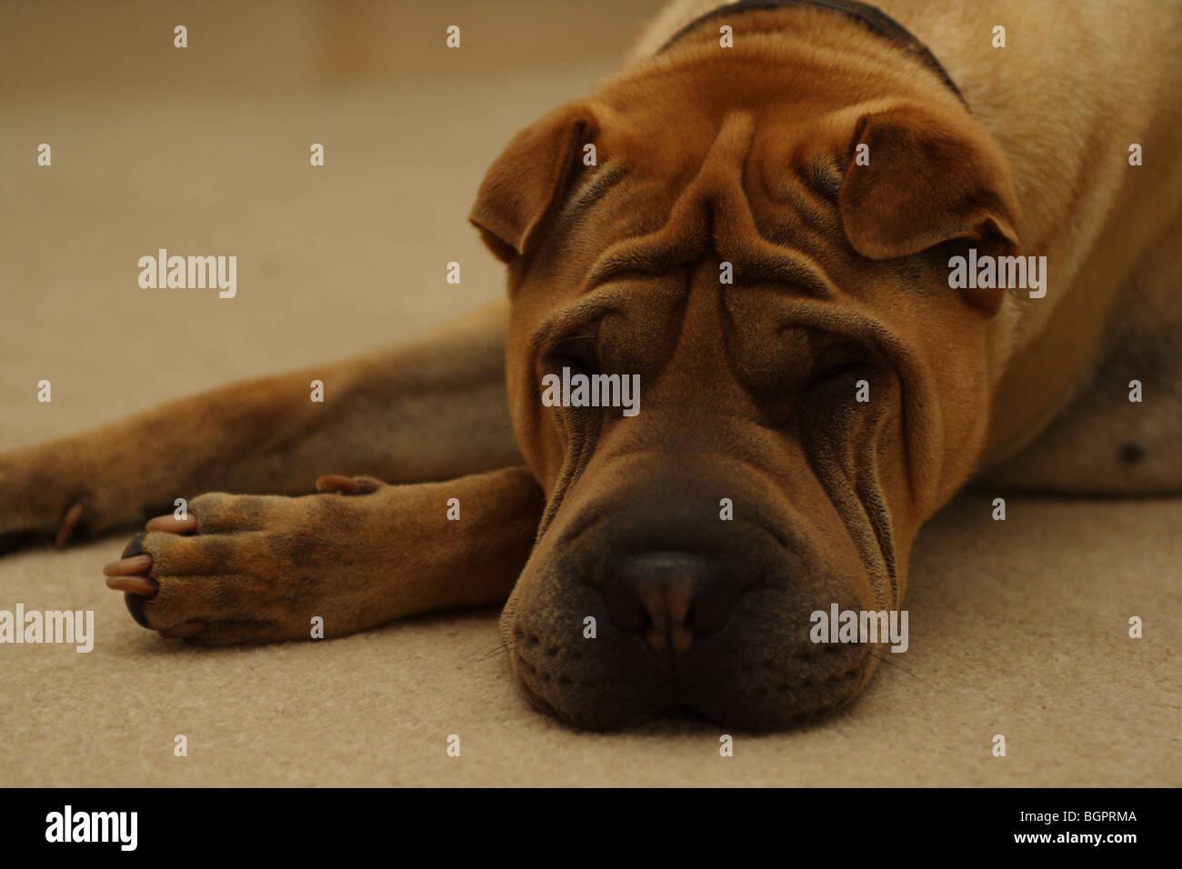 Shar Pei puppy asleep on carpet - Stock Image