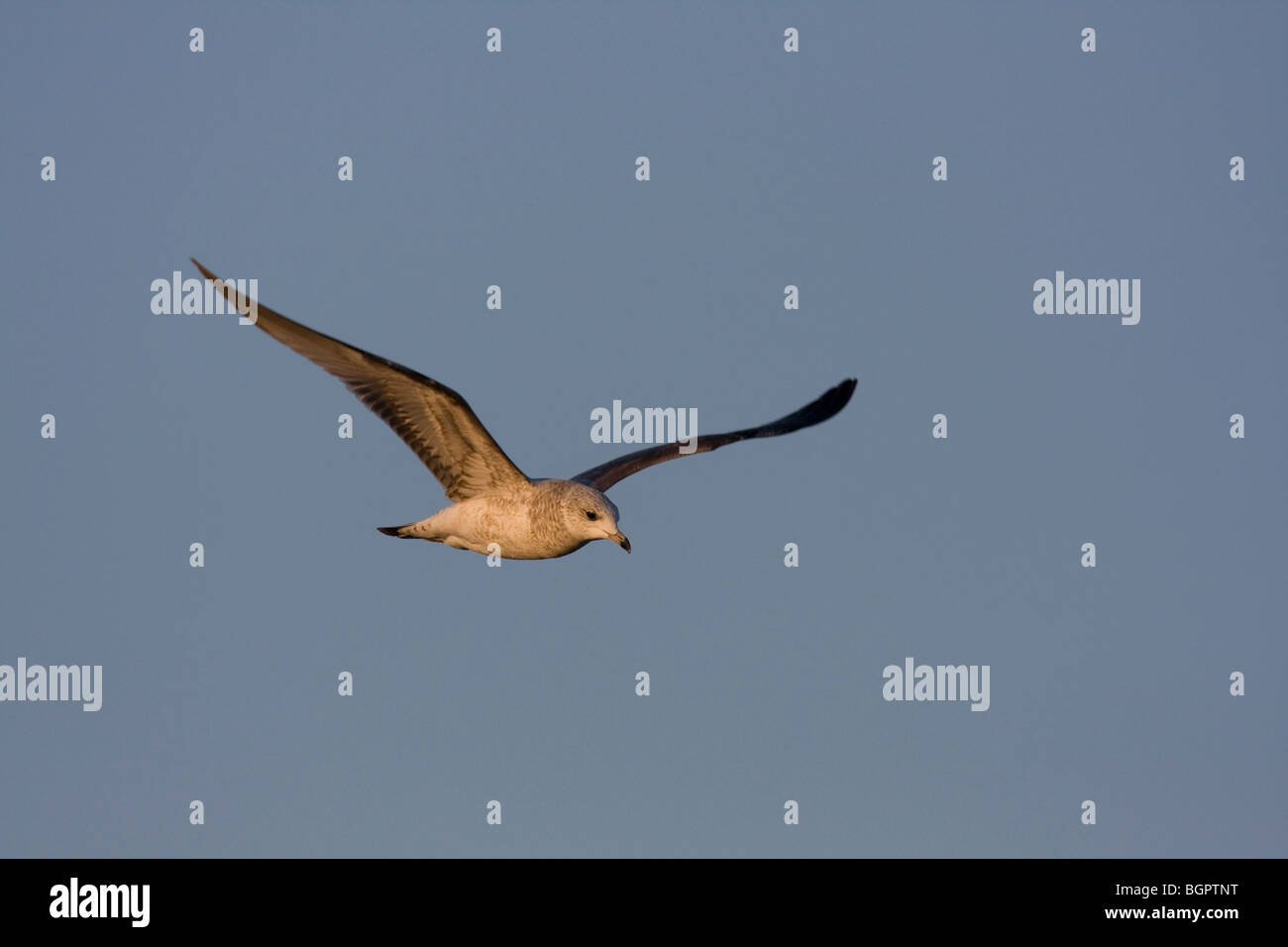 Common Gull Larus canus immature flying against blue sky, Steart, Somerset. - Stock Image
