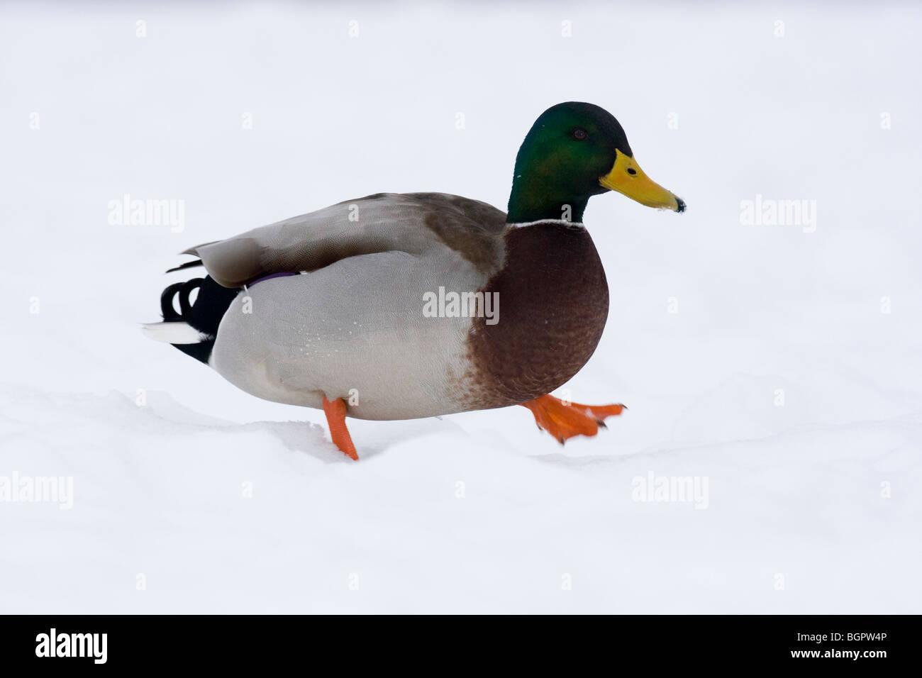 Mallard Anas platyrhynchos walking in snow, Malvern Hills, Worcestershire - Stock Image