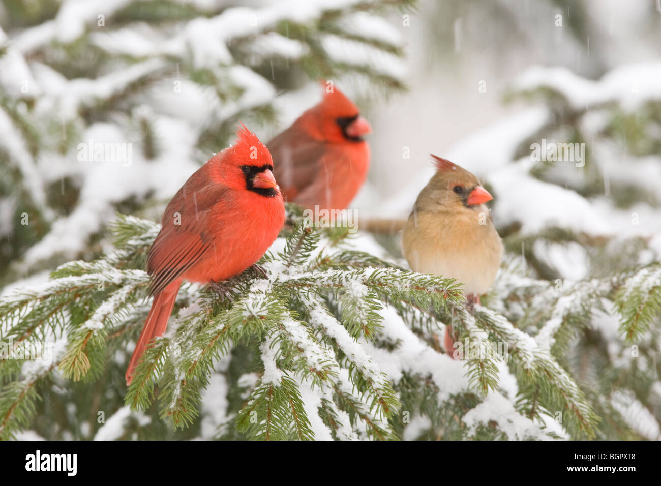 three northern cardinals in spruce tree with falling snow male and