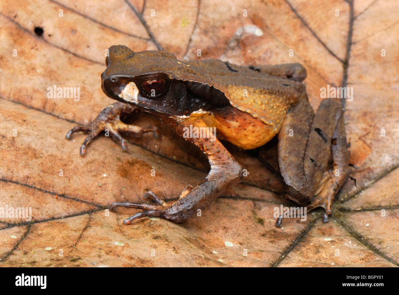 Masked Toad (Bufo haematiticus), adult on leaf, San Cipriano Reserve, Cauca, Colombia, South America - Stock Image