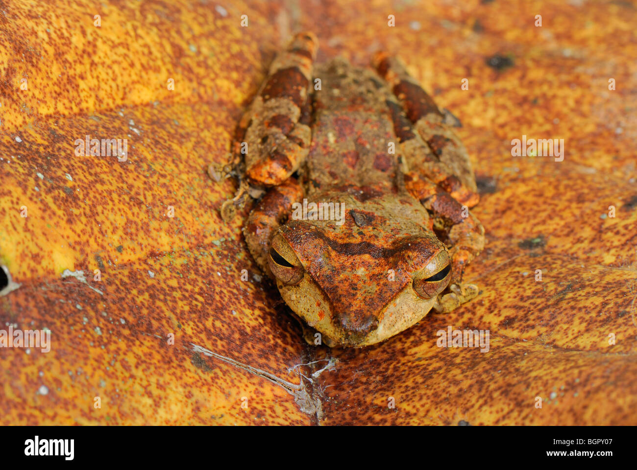 Asian Tree Frog, Danum Valley Conservation Area, Sabah, Borneo, Malaysia, Asia - Stock Image