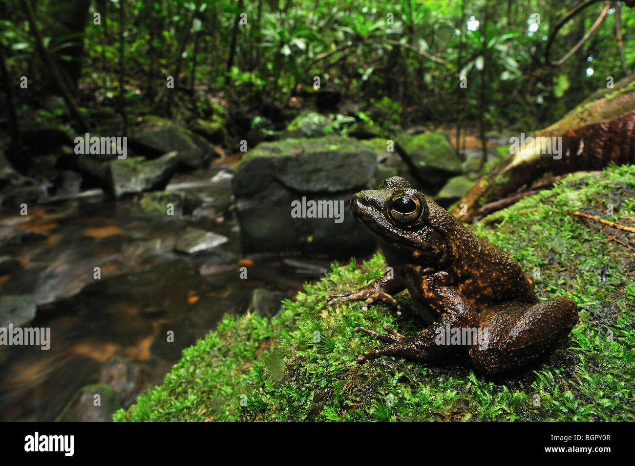 Grandidier's Stream Frog (Mantidactylus grandidieri), adult at stream, Masoala National Park, Madagascar - Stock Image