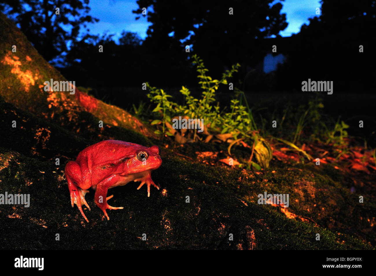 Tomato Frog (Dyscophus antongilii),adult, Maroantsetra, Northeastern Madagascar - Stock Image