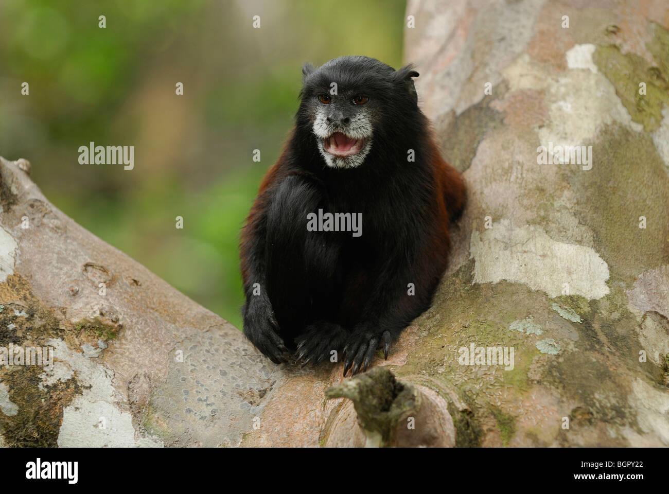 Saddleback Tamarin (Saguinus fuscicollis), adult calling, Pacaya-Samiria National Park, Peru Stock Photo