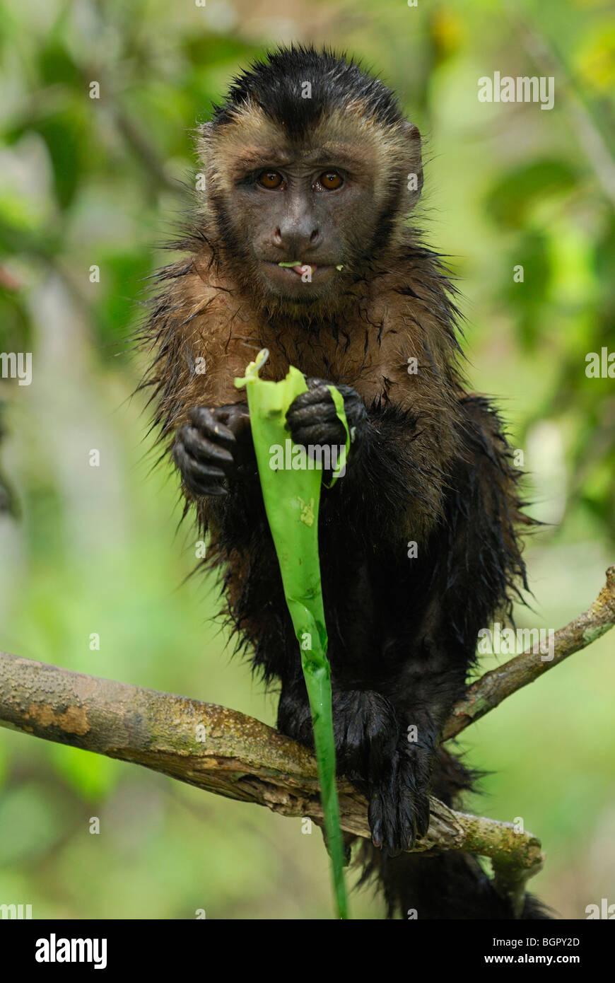 Tufted or Brown Capuchin (Cebus apella), adult eating, Pacaya-Samiria National Park, Peru - Stock Image