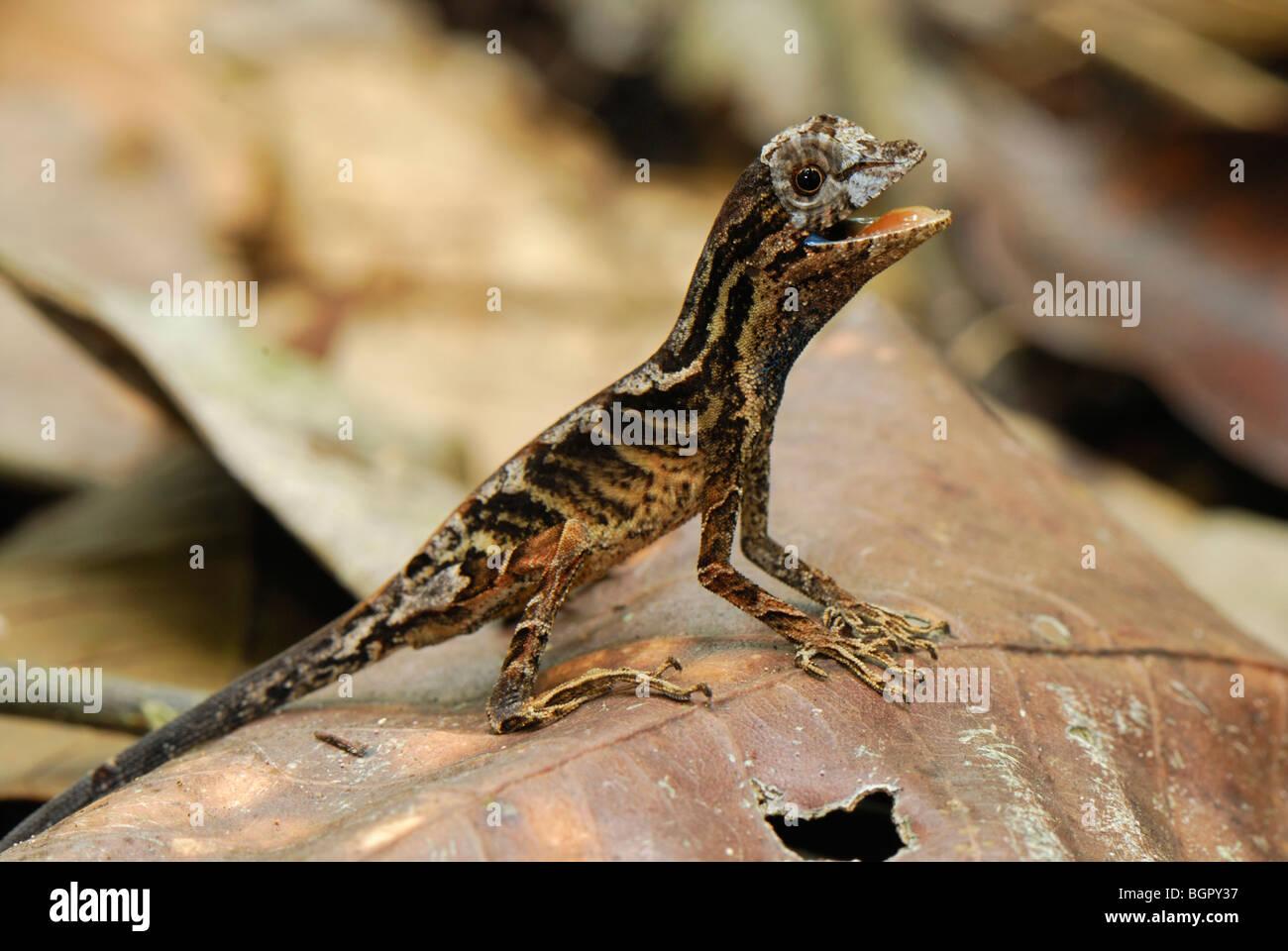 Anolis Lizard (Anolis nitens), adult, Allpahuayo Mishana National Reserve, Iquitos, Peru - Stock Image