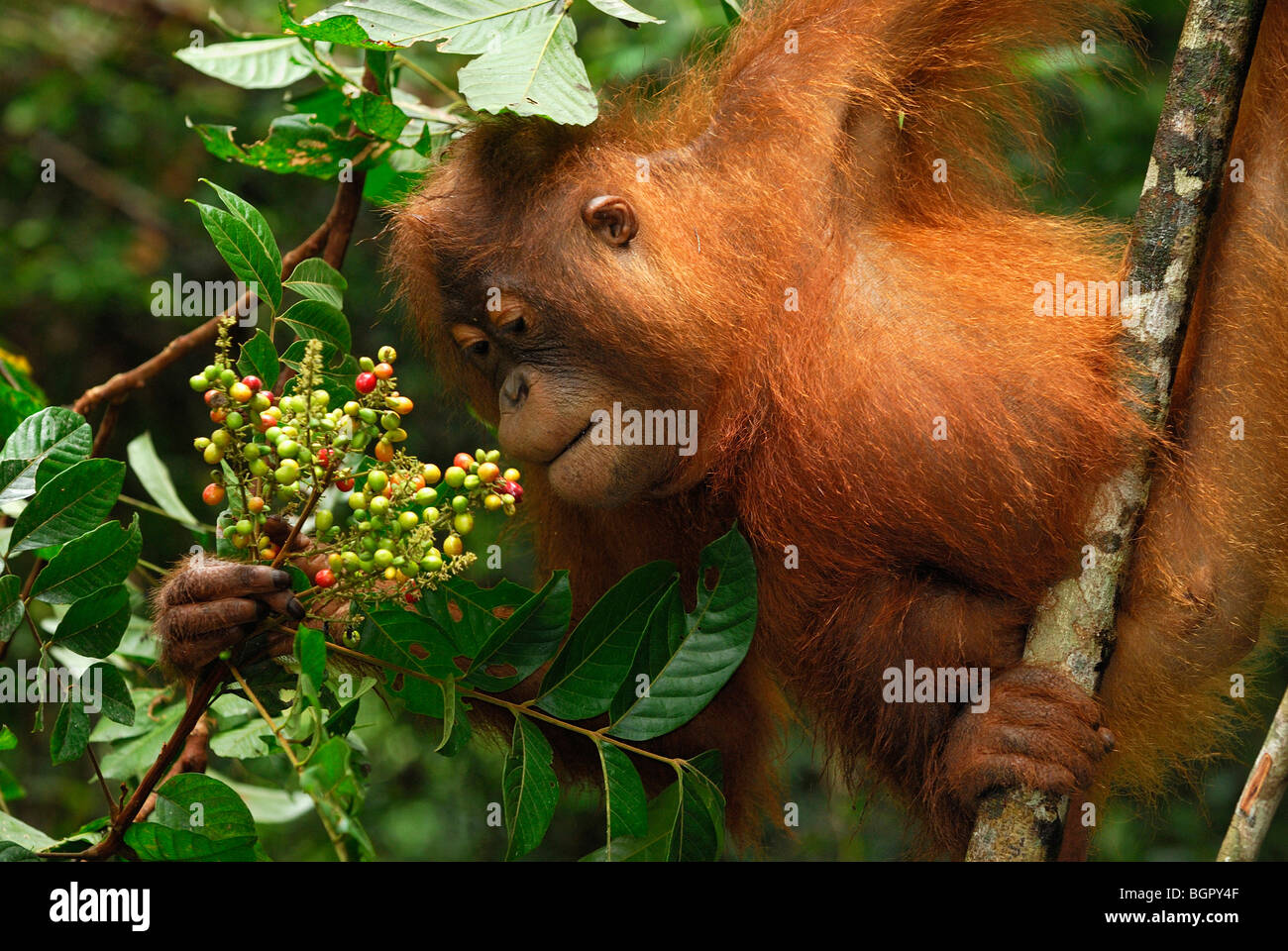 Borneo Orangutan (Pongo pygmaeus), eating fruits, Camp Leaky, Tanjung Puting National Park, Kalimantan, Borneo, - Stock Image