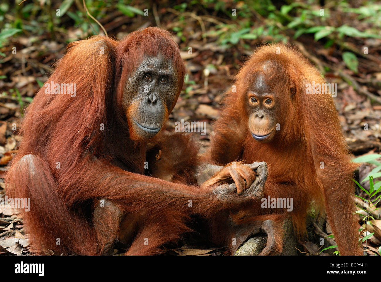 Borneo Orangutan (Pongo pygmaeus), female with a baby, Camp Leaky, Tanjung Puting National Park, Kalimantan, Borneo, - Stock Image