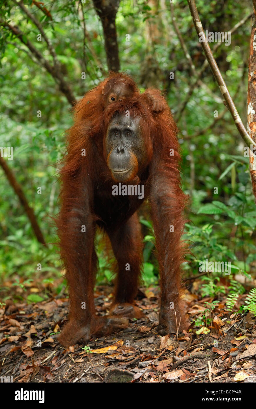 Borneo Orangutan (Pongo pygmaeus), female with its baby riding on its back, Kalimantan, Borneo, Indonesia - Stock Image