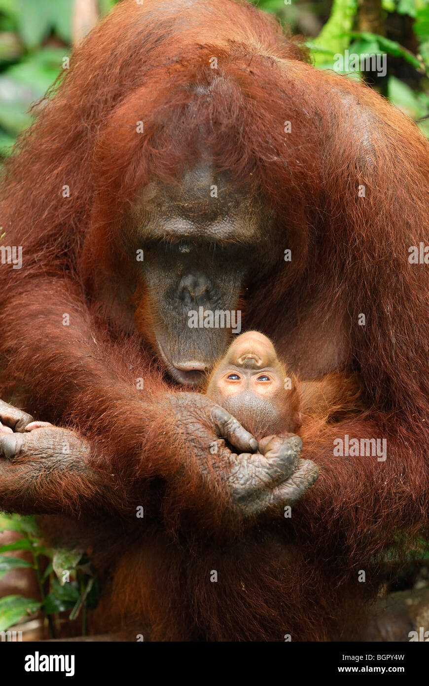 Bornean Orangutan (Pongo pygmaeus), female holdings its baby, Camp Leaky, Tanjung Puting NP, Kalimantan, Borneo, - Stock Image