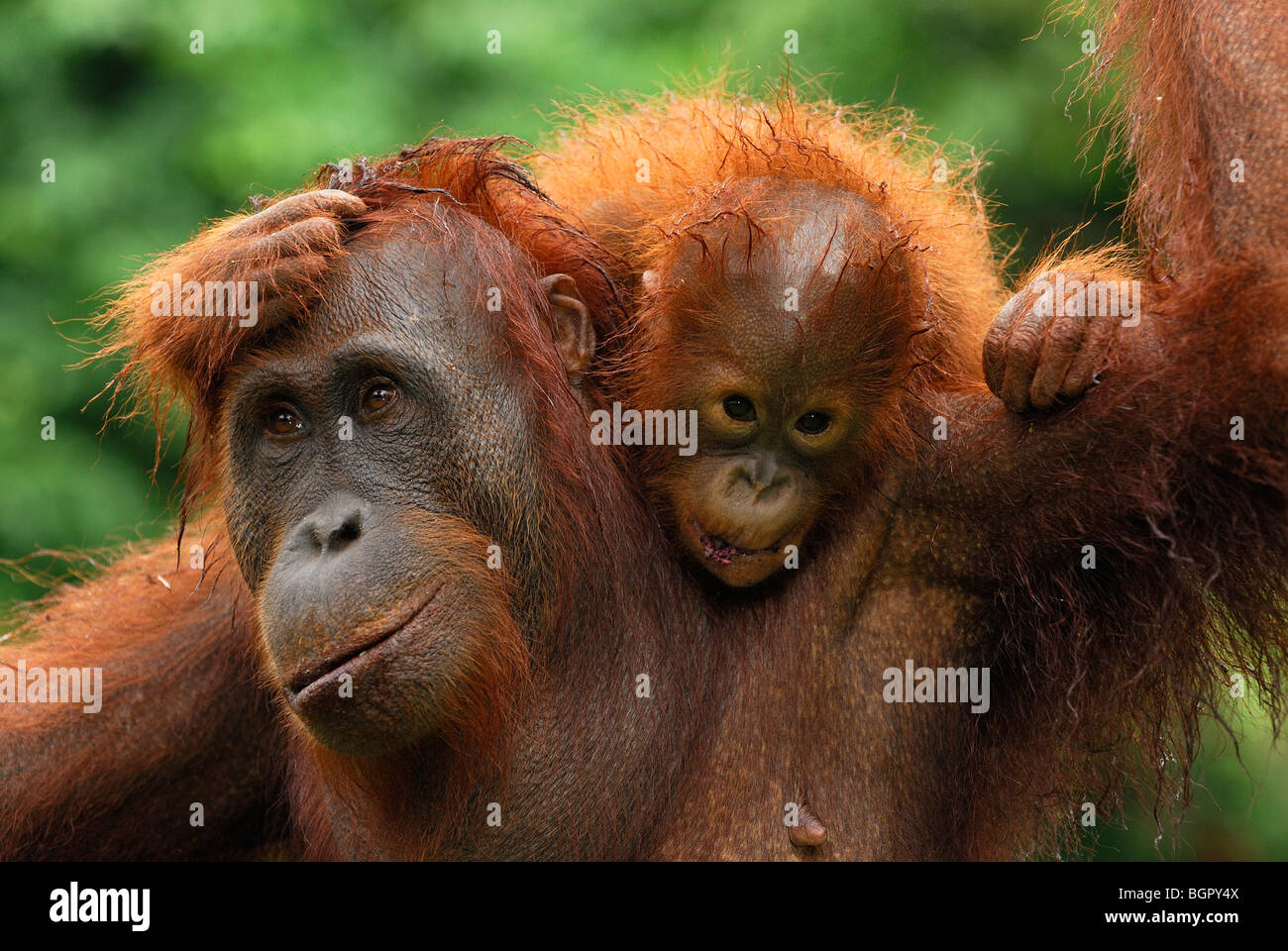 Borneo Orangutan (Pongo pygmaeus), female with baby after rain, Camp Leaky, Tanjung Puting NP, Kalimantan, Borneo, - Stock Image