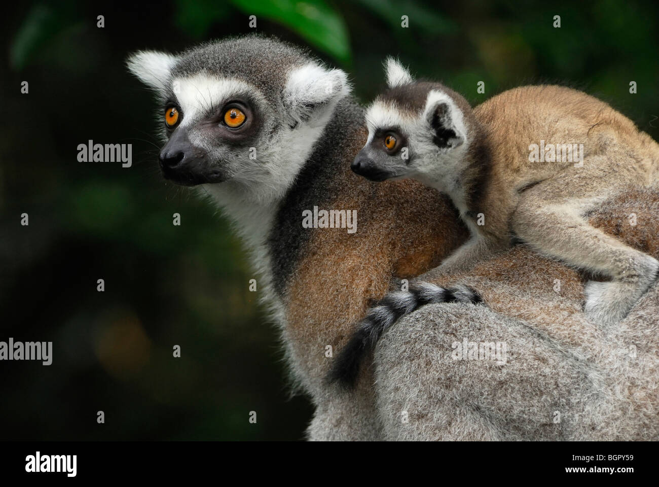 Ring-tailed Lemur (Lemur catta), female with its baby riding on its back, Madagascar - Stock Image