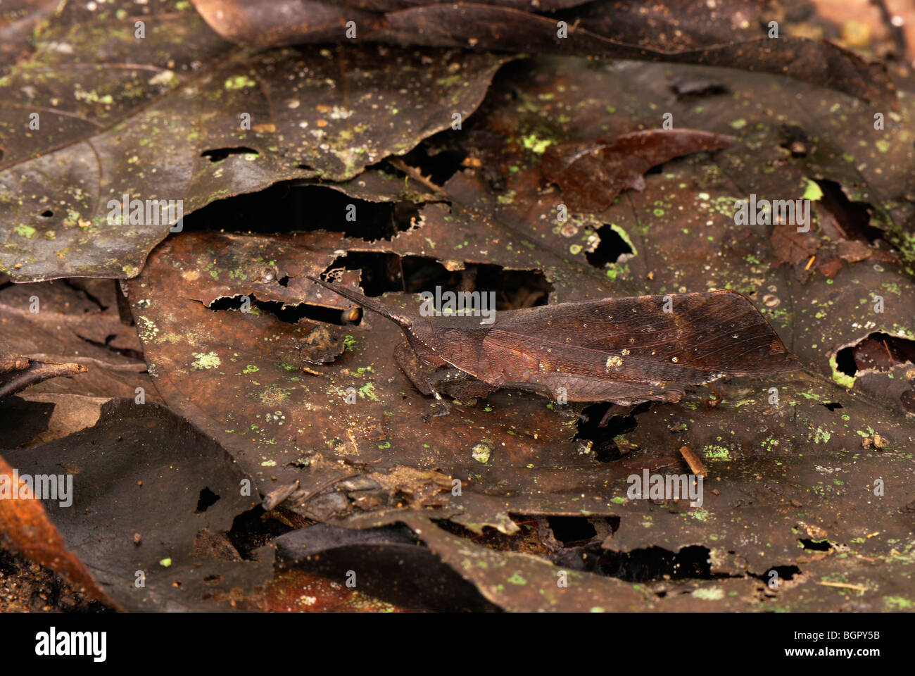Dead-leaf Grasshopper (Orthoptera), camouflaged on dead leaves on the forest floor, Sabah, Borneo, Malaysia - Stock Image
