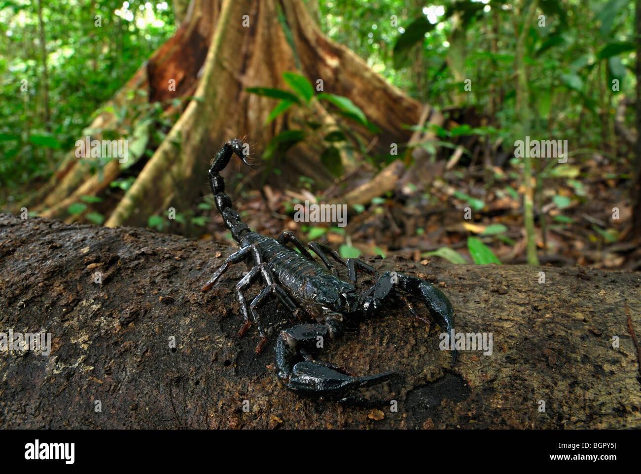 Scorpion (Heterometrus longimanus borneensis), adult, Danum Valley Conservation Area, Sabah, Borneo, Malaysia - Stock Image