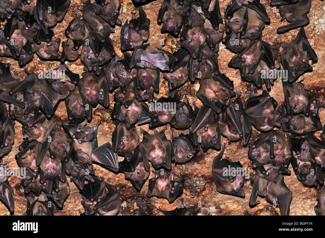 Bats inside Ankarana Cave, Ankarana National Park, Nosy Be, Madagascar - Stock Image