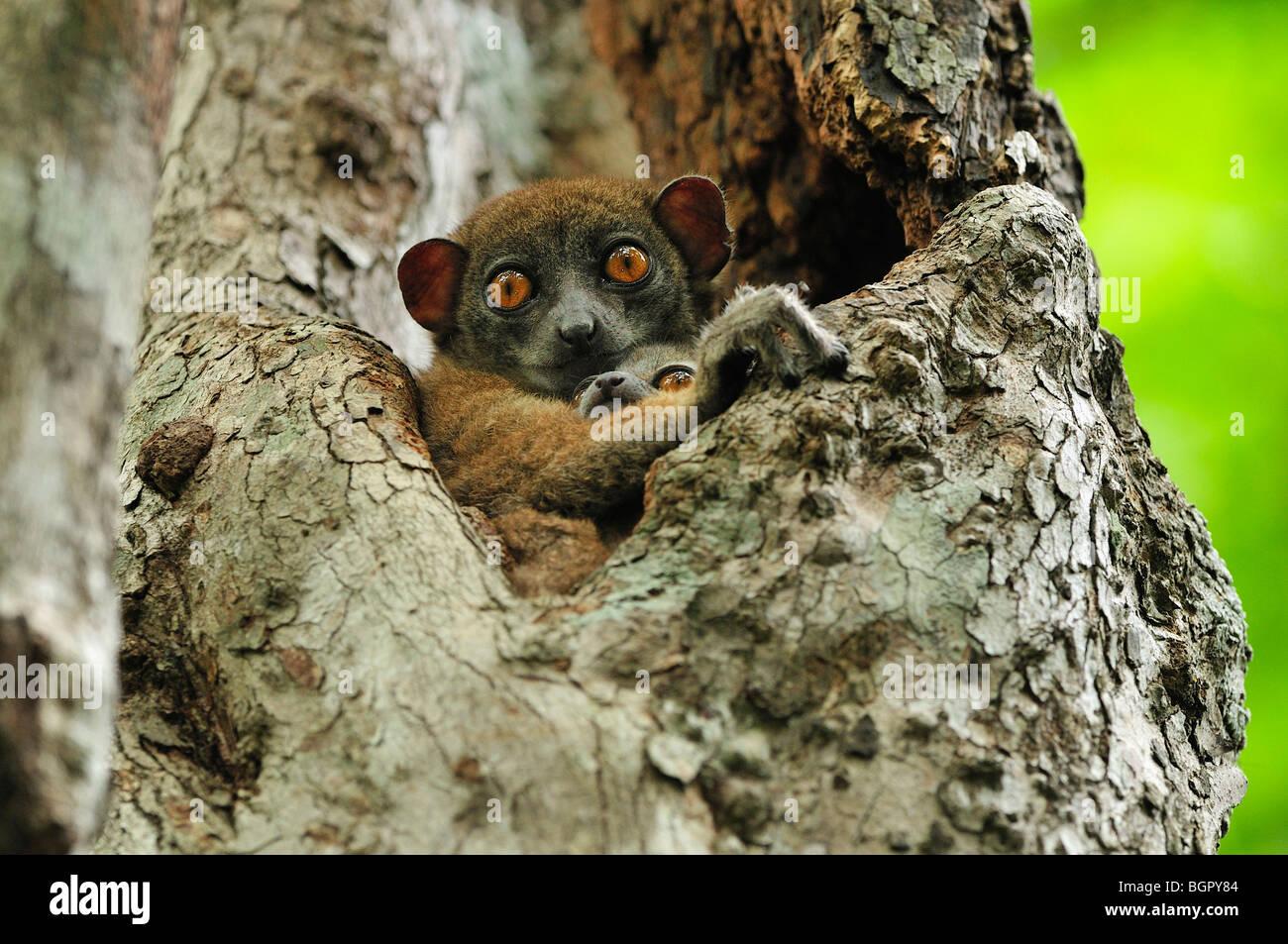 Ankarana Sportive Lemur (Lepilemur ankaranensis), female with baby in tree, Ankarana National Park, Northern Madagascar - Stock Image