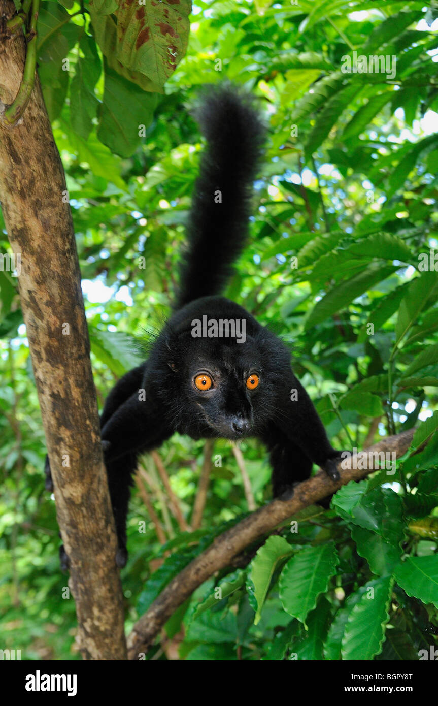 Black Lemur (Eulemur macaco macaco), male, Lokobe Nature Special Reserve, Nosy Be, Northern Madagascar - Stock Image