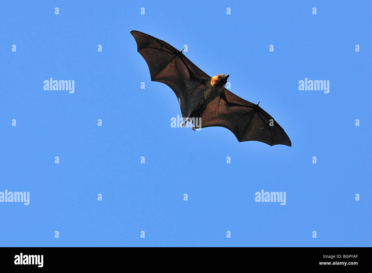 Madagascar Fruit Bat or Flying Fox (Pteropus rufus), adult in flight, Berenty Private Reserve, Madagascar - Stock Image