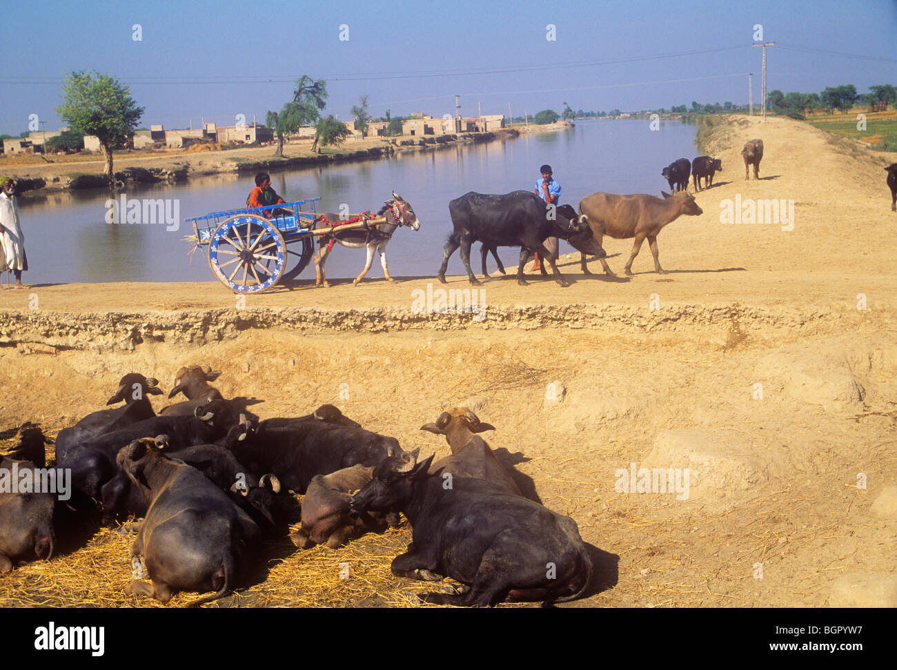 Rural scene with canal and water buffalo, Sindh province
