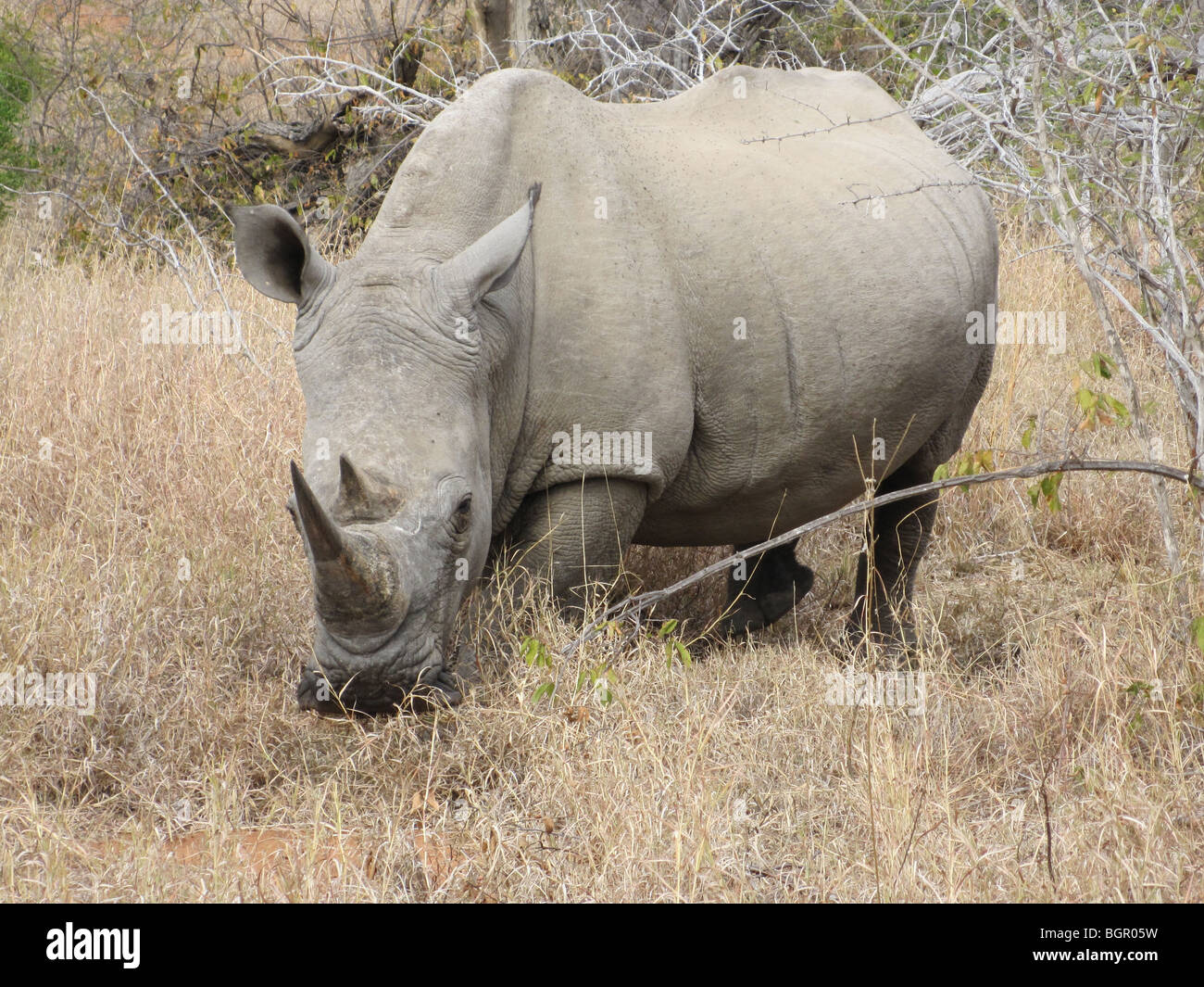 Wild white rhinoceros - Stock Image