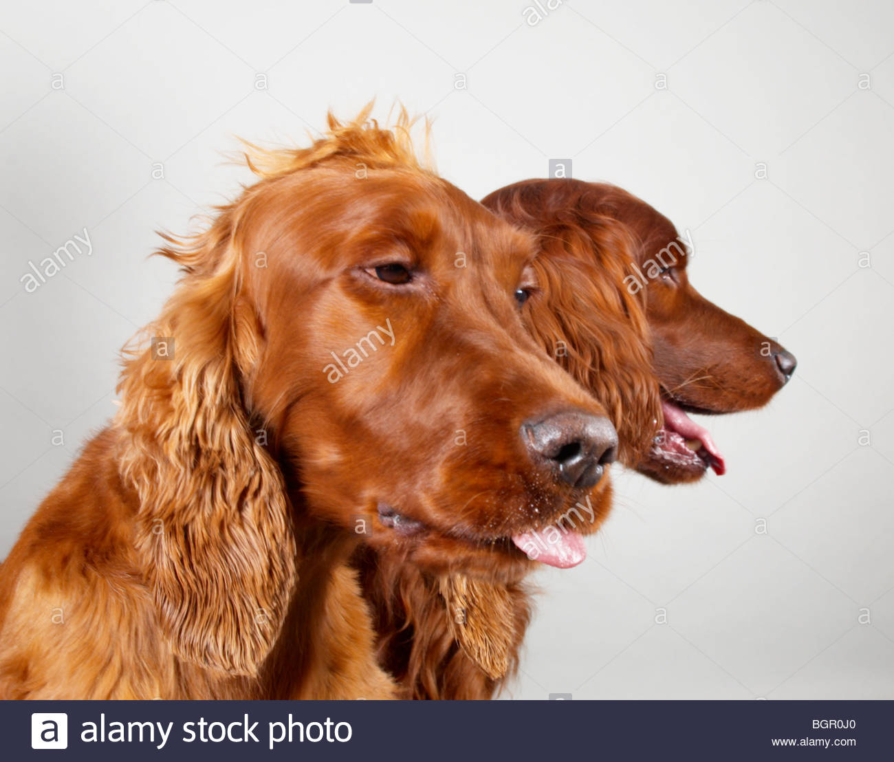 Red setters - Stock Image