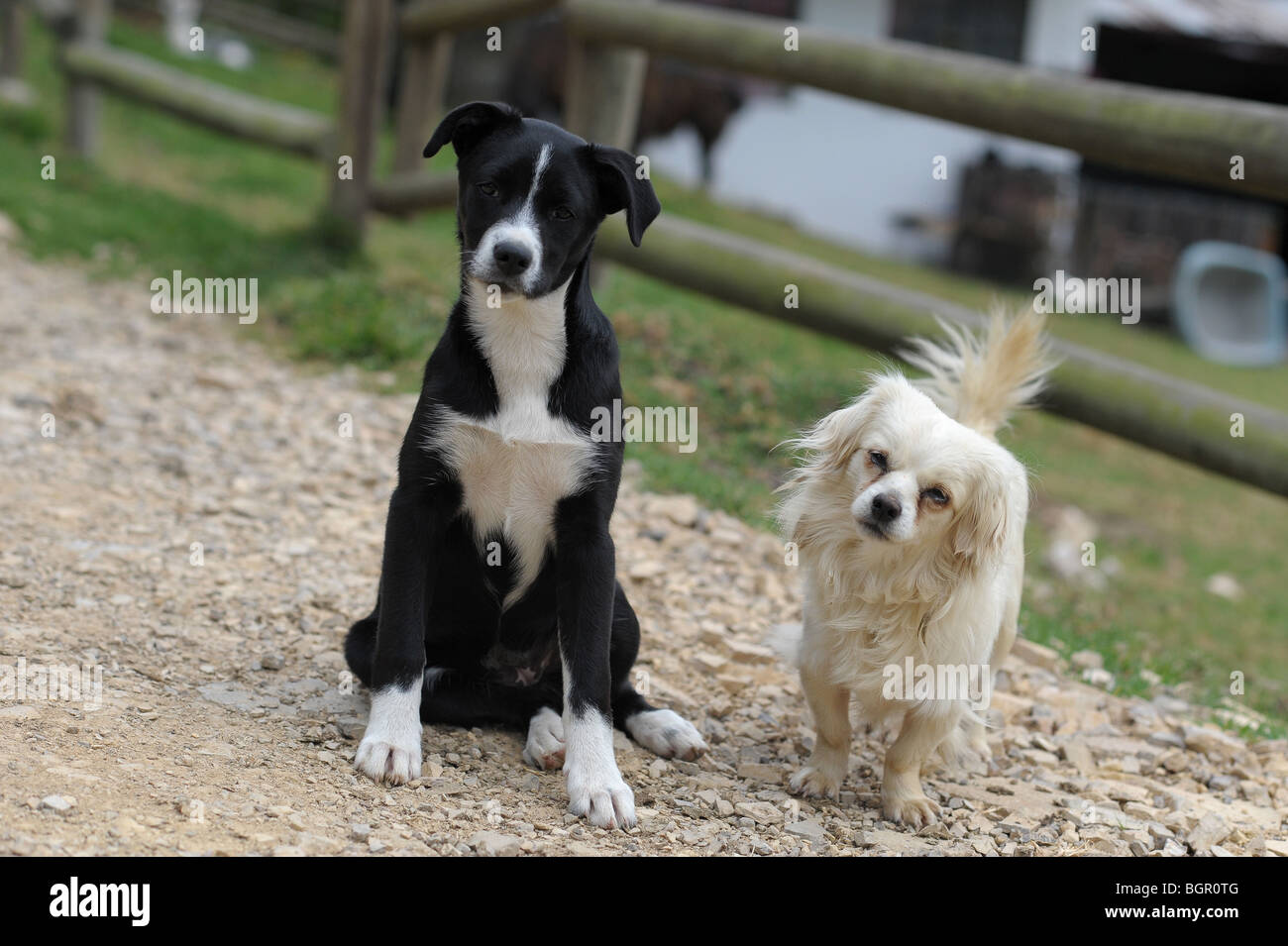 Two inquisitive countryside mongrels, one small white and furry, one large smooth haired. Colombia, South America - Stock Image
