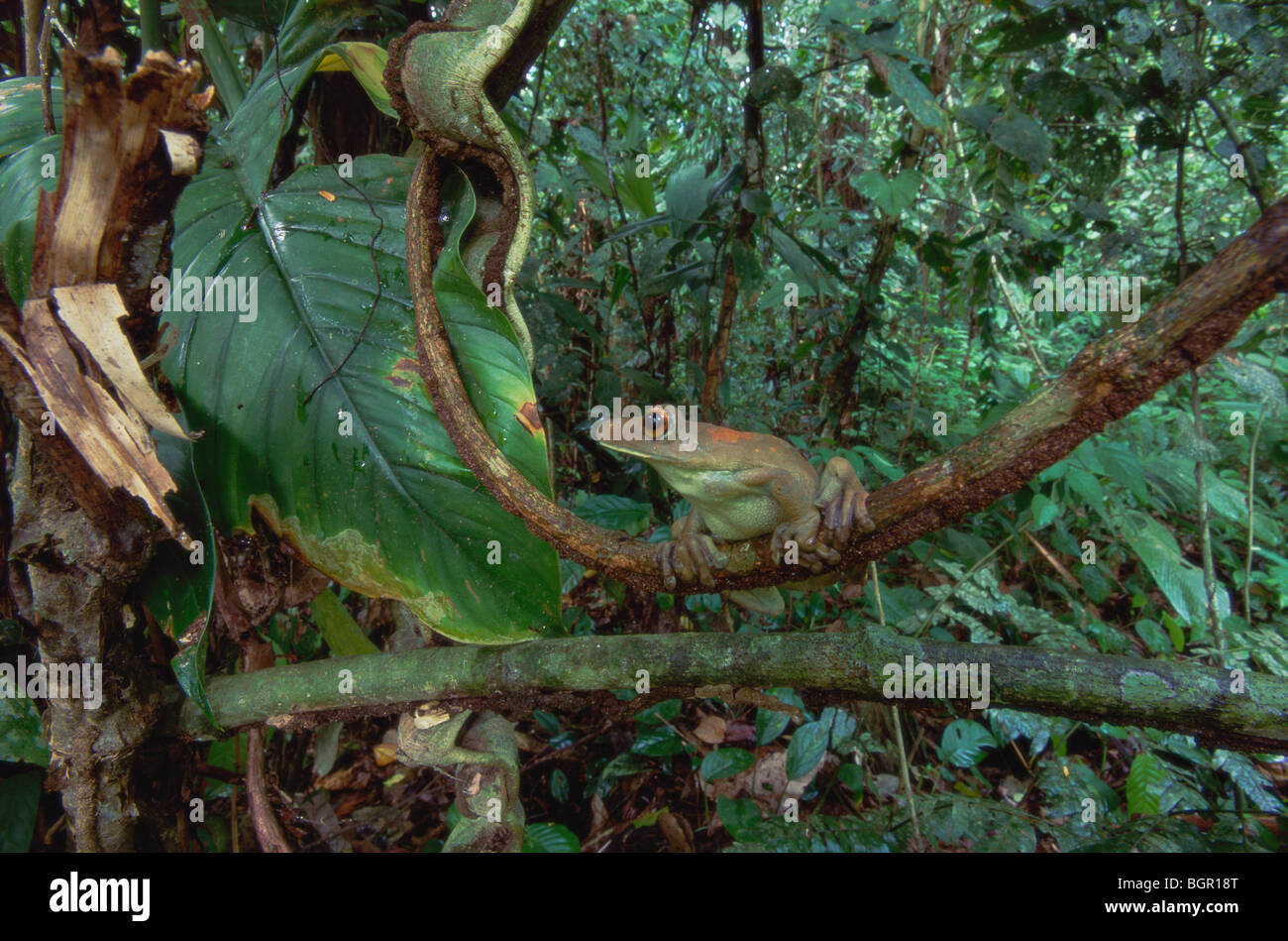 South American Map Tree Frog (Hyla geographica), adult perched on branch in rainforest, Tambopata Candamo Reserve, - Stock Image