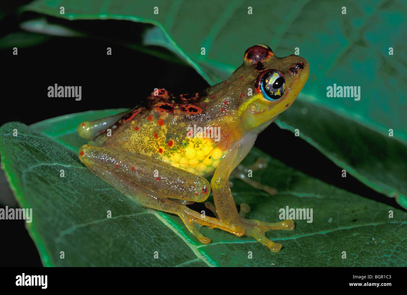 Red-backed Bright-eyed Frog (Boophis bottae), female with eggs in body, Andasibe-Mantadia National Park, Madagascar - Stock Image