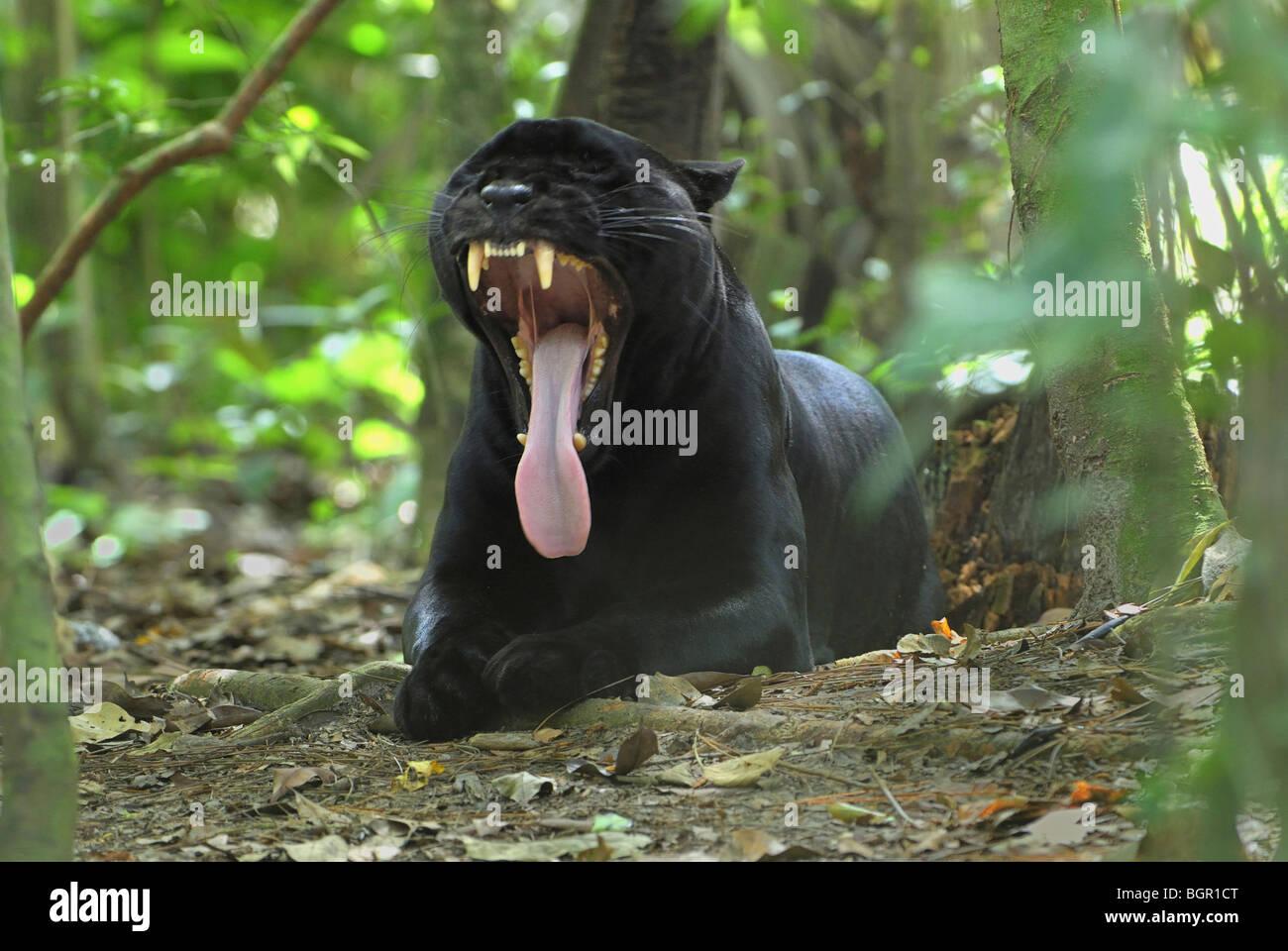 Black Jaguar or Panther (Panthera onca), adult yawning, Belize - Stock Image