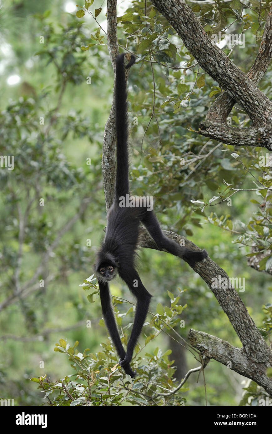 Central American Spider Monkey (Ateles geoffroyi), adult using Stock ...