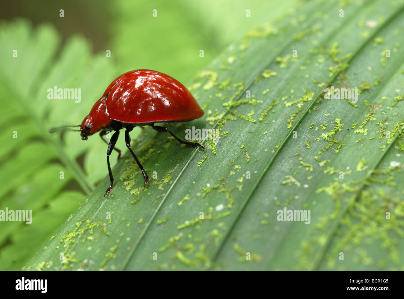 Red Leaf Beetle, adult on leaf, Braulio Carrillo National Park, Costa Rica  - Stock Image