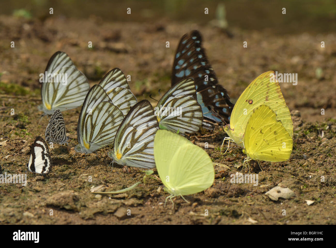 Different Butterflies (Pieridae, Papilionidae, and Lycaenidae) drinking from wet ground, Kheaun Sri Nakarin NP, - Stock Image
