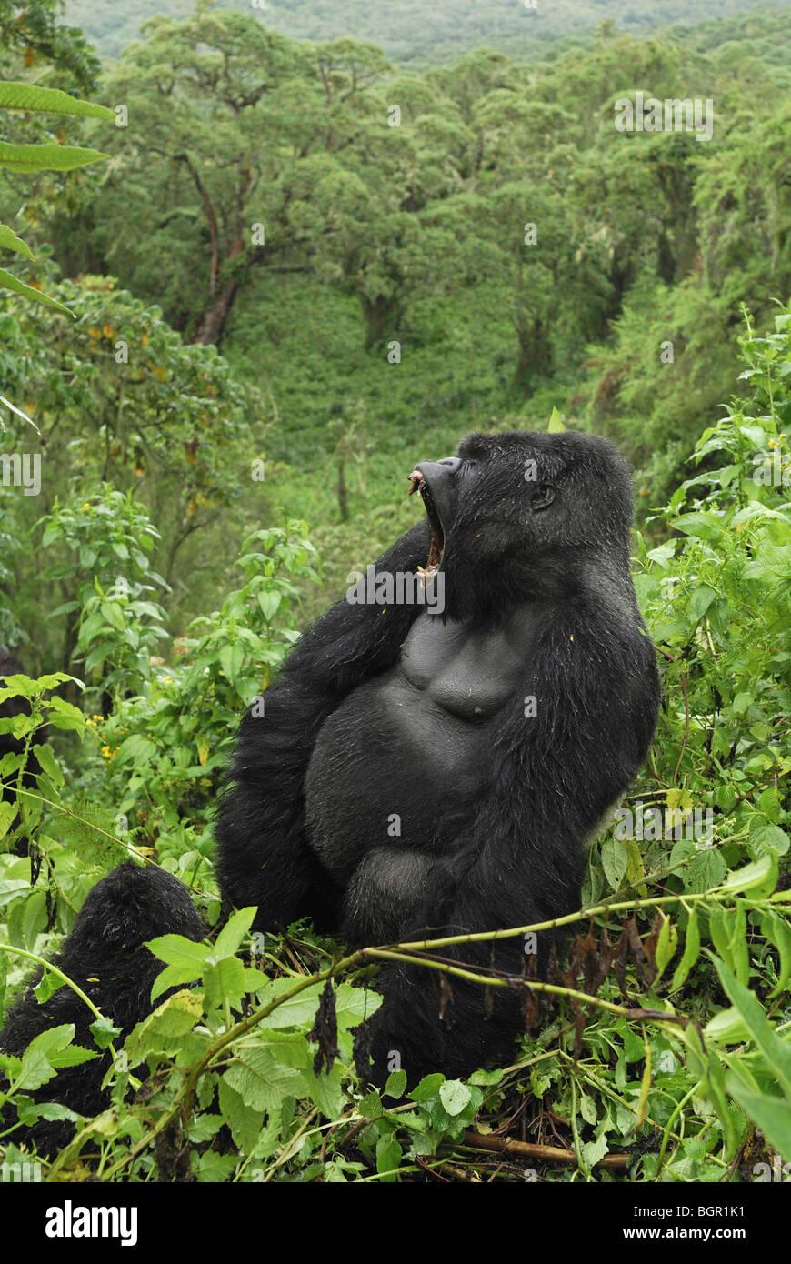 Mountain Gorilla (Gorilla beringei beringei), Silverback with open mouth, Volcanoes National Park, Rwanda - Stock Image