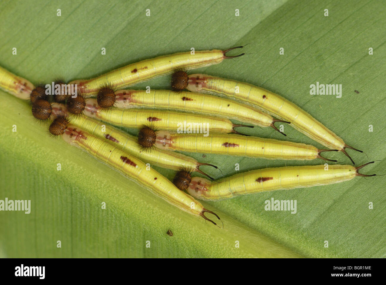 Owl Butterfly (Caligo memnon), caterpillars, Colombia - Stock Image