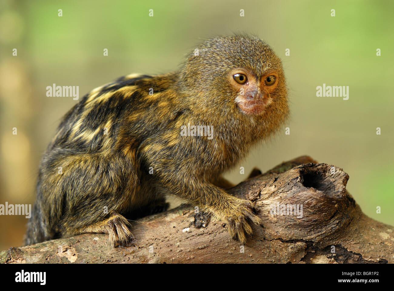 Pygmy Marmoset (Callithrix pygmaea), adult, Amazon Forest, Leticia, Colombia - Stock Image