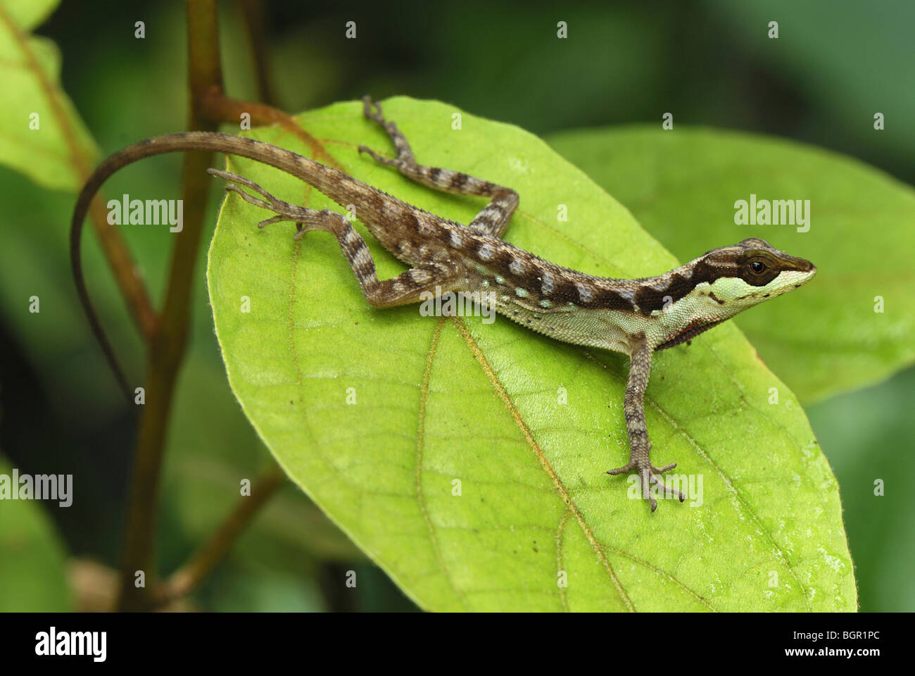 Anole Lizard (Anolis notopholis), adult on leaf, San Cipriano Reserve, Cauca, Colombia - Stock Image