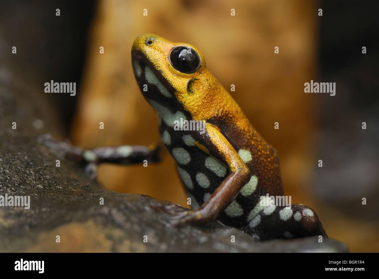Poison Frog (Ranitomeya), adult, Depart. Cundinamarca, Colombia - Stock Image
