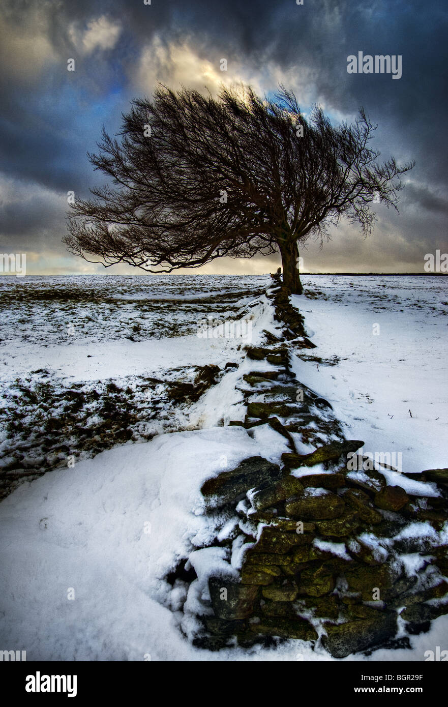 Hawthorn tree in snow, near Meltham - Stock Image
