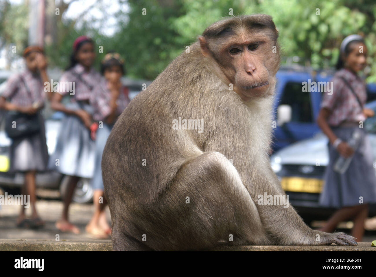 Bonnet monkey in Periyar Wildlife Sanctuary, India. - Stock Image