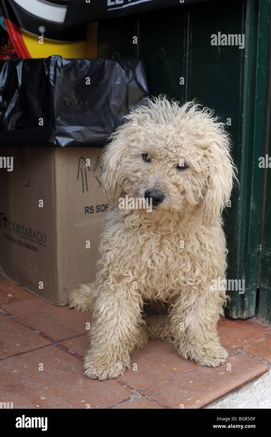 off-white curly haired dog.  Villa De Leyva, Colombia, South America - Stock Image