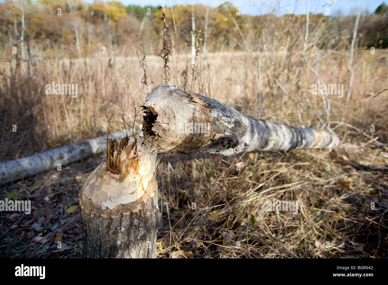 A Poplar Tree felled by a beaver near a small pond in central Wisconsin. - Stock Image