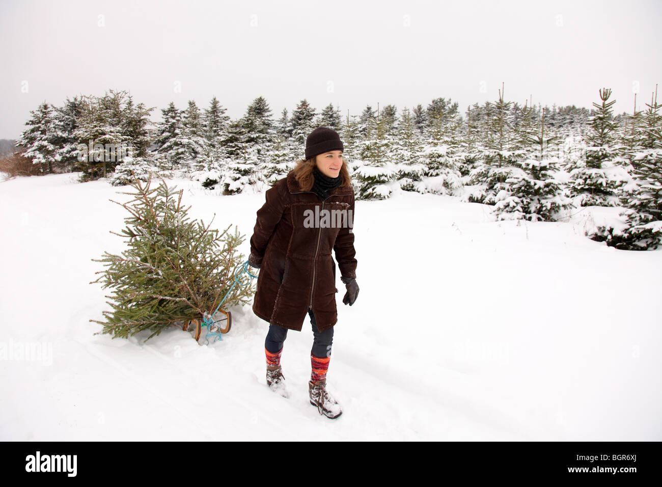 Young woman pulling her christmas tree on a sledge out of a forest - Stock Image