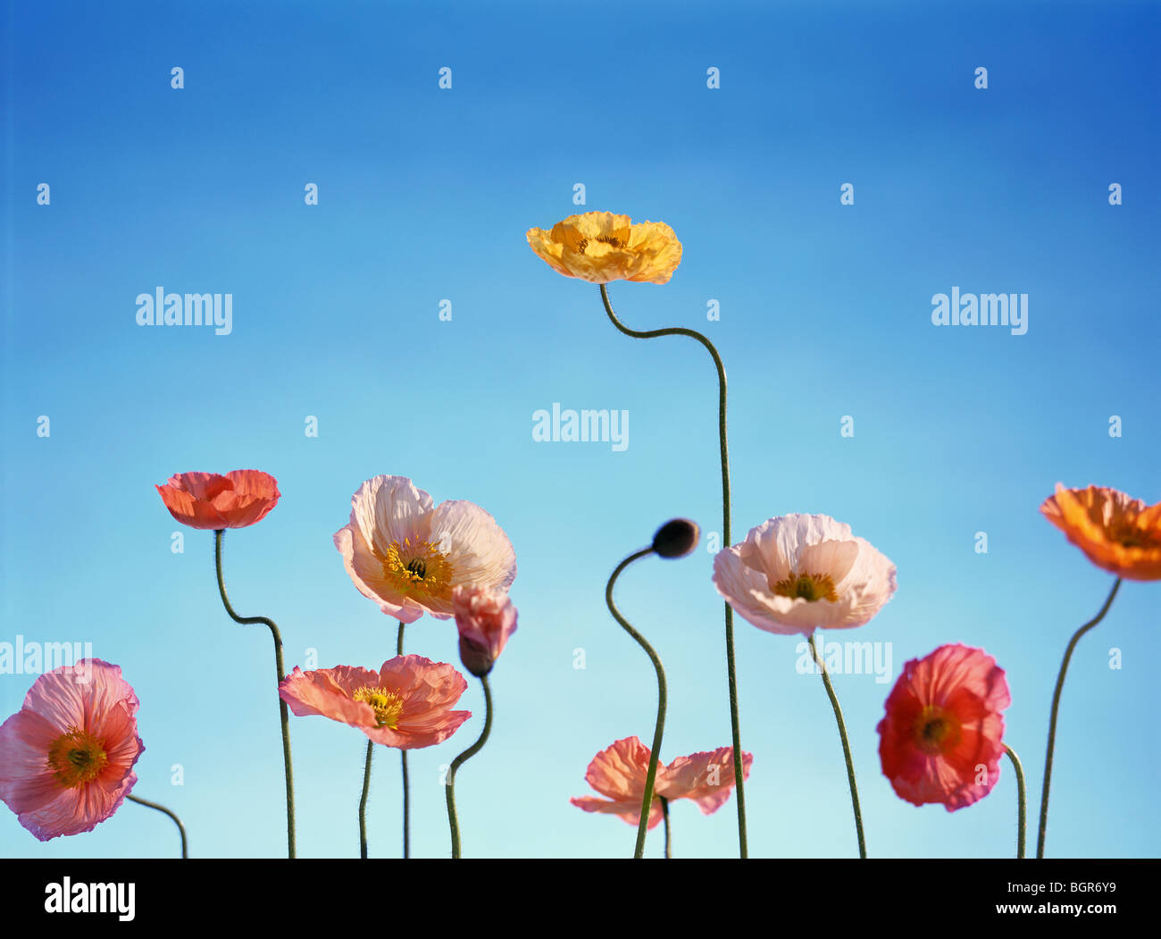 Tall poppies against blue sky - Stock Image