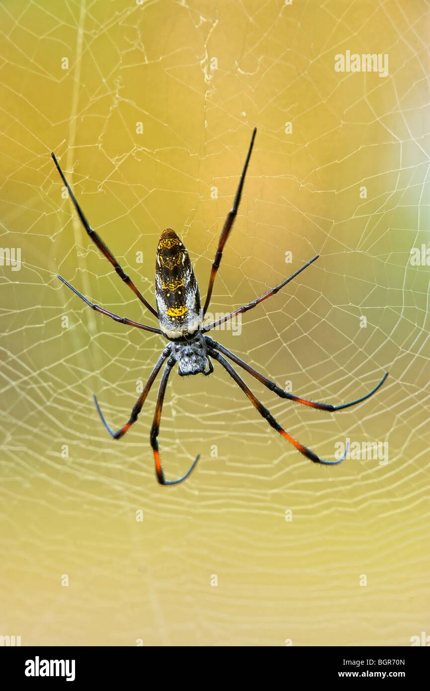 Golden orb-web spider (Nephila madagascariensis), Madagascar Stock Photo