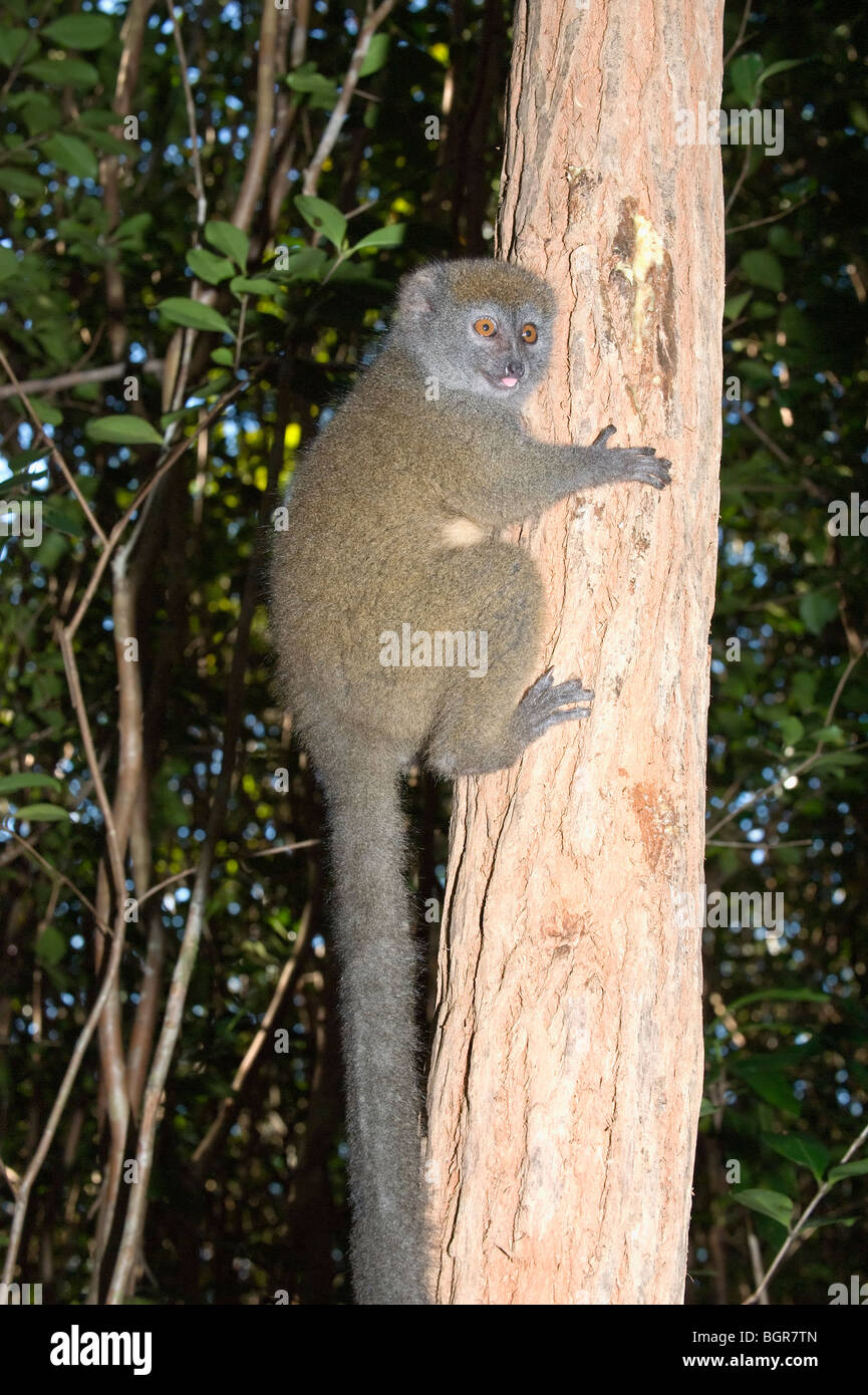 Eastern Lesser Bamboo Lemur (Hapalemur griseus), Madagascar - Stock Image